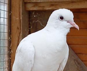 White collard dove