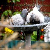 pigeons bird bath