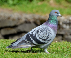 Common feral pigeon