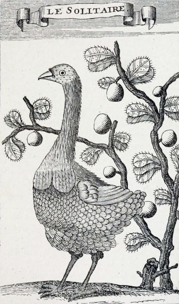 1708 drawing by François Leguat, the only illustration of this species by someone who observed it alive
