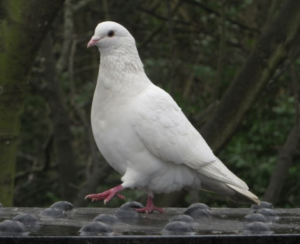 White Homming Pigeon