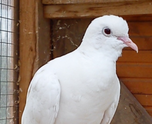 White collard dove